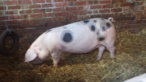 Gloucester Old Spot pigs